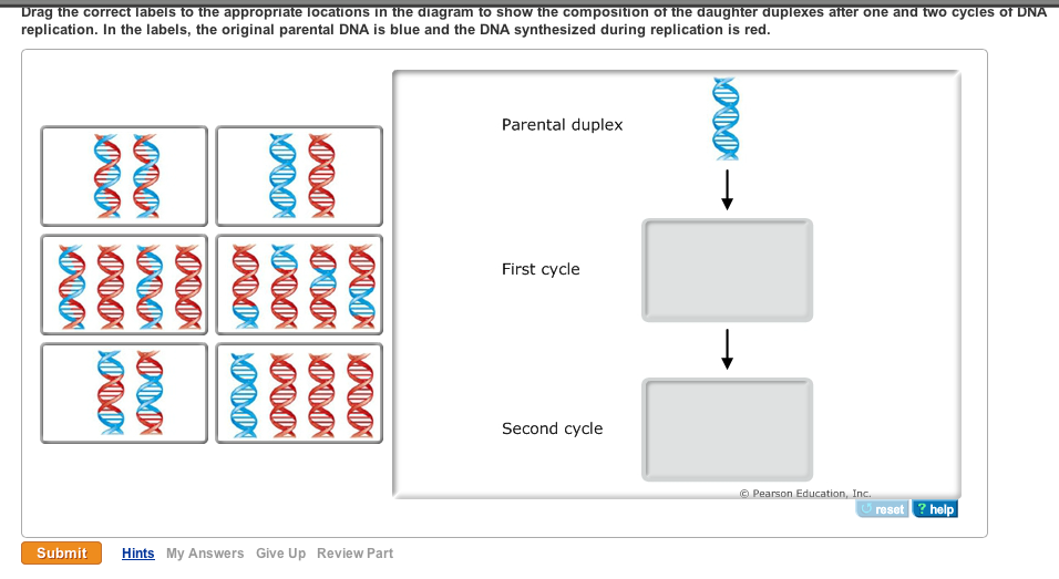 i am new with this  please help dna replication