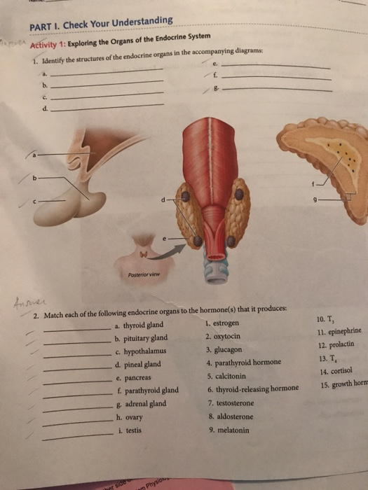Solved Identify The Structure Of The Endocrine Organs In