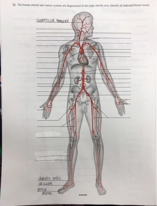 Solved 12 The Human Arterial And Venous Systems Are Diag