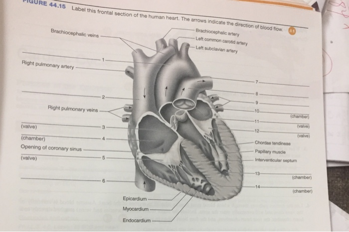 Solved label this frontal section of the human heart the question label this frontal section of the human heart the arrows indicate the direction of blood flow ccuart Images