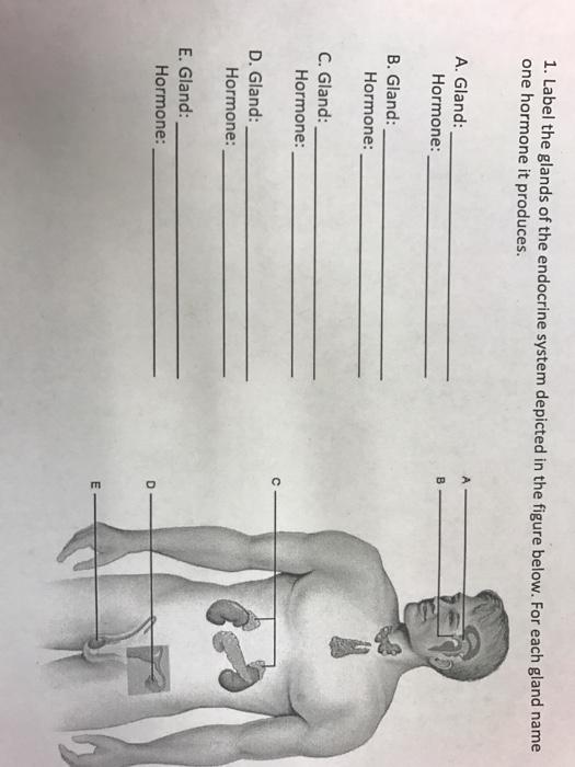 Solved Label The Glands Of The Endocrine System Depicted