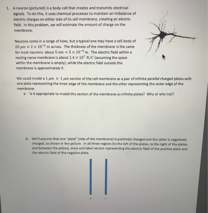 Solved: A Neuron (pictured) Is A Body Cell That Creates An ...