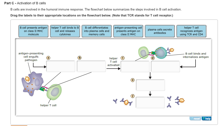 The humoral immune response the flowchart below summarizes the steps