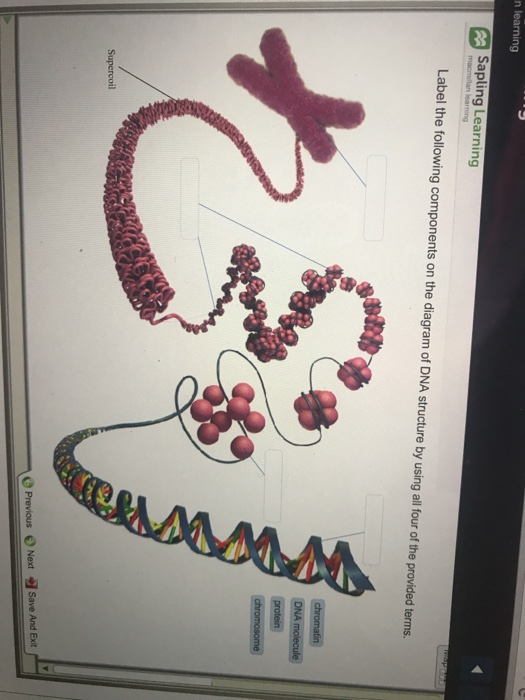 Solved n learning sapling learning label the following co n learning sapling learning label the following components on the diagram of dna structure by using ccuart Images