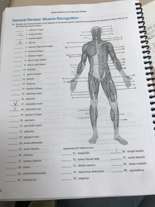 Gross anatomy of muscular system
