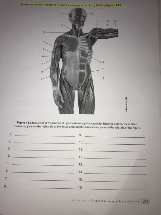 Solved Review The Anterior Muscles Of The Trunk And Upper