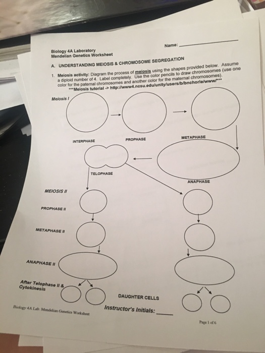 Meiosis Activity Diagram The Process Of Meiosis U – Mendelian Genetics Worksheet