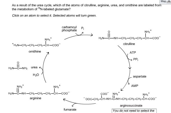 citrulline arginine relationship quizzes