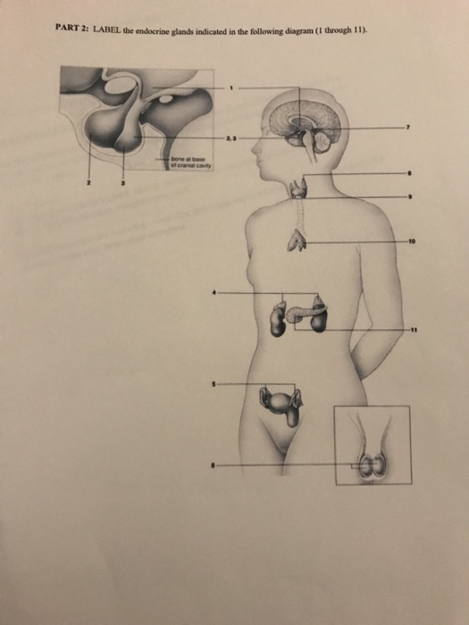 Solved Part 2 Label The Endocrine Glands Indicated In Th