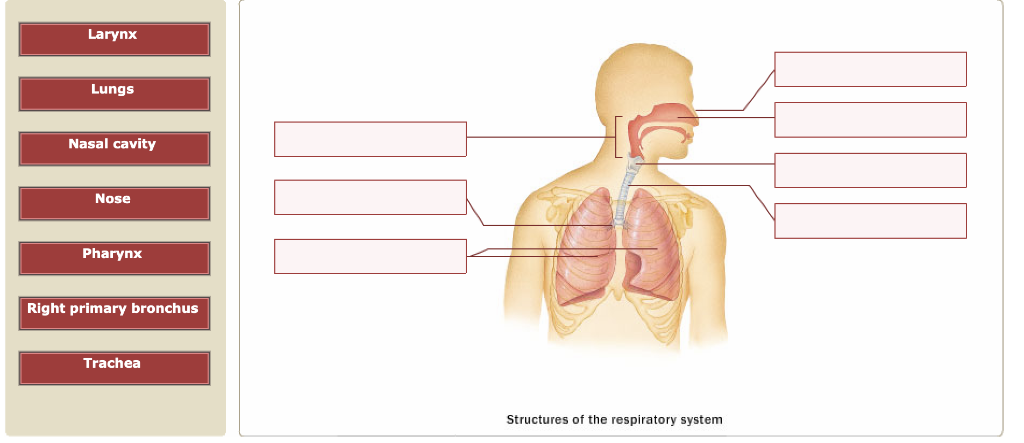 Larynx Lungs Nasal cavity Nose Pharynx Right primary bronchus Trachea Structures of the respiratory system