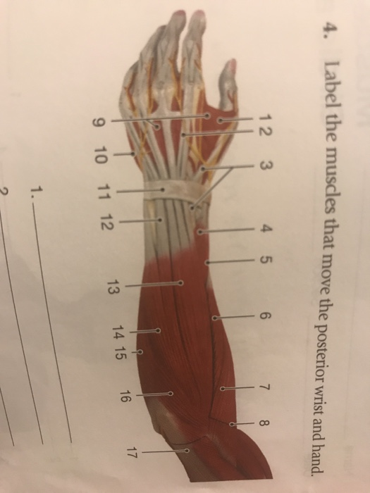 Solved: 4. Label The Muscles That Move The Posterior Wrist ...