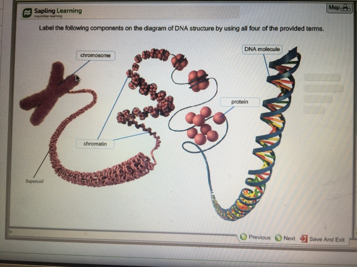 Solved map sapling learning label the following component map sapling learning label the following components on the diagram of dna structure by using all ccuart Gallery
