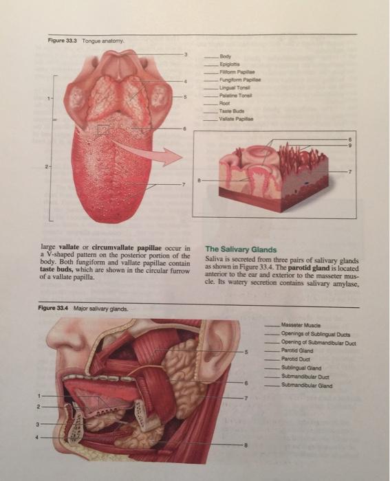Solved Figure 333 Tongue Anatomy Body Epiglonis Filflom