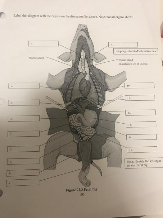 fetal pig esophagus diagram wiring diagram information  fetal pig esophagus diagram #5