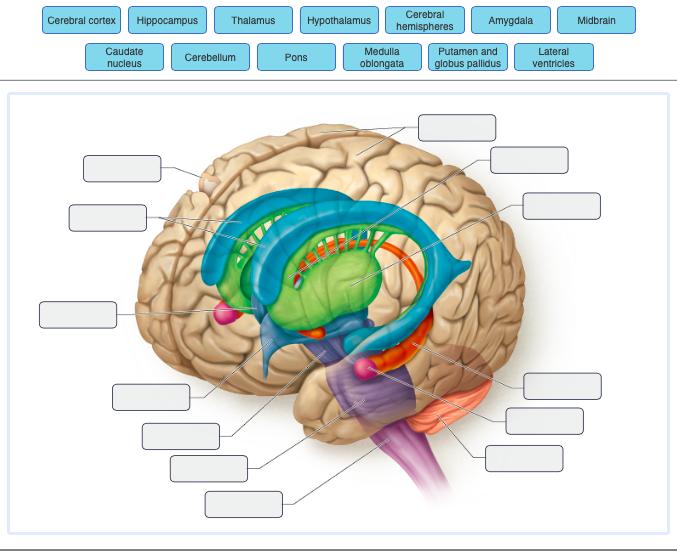 Solved: Cerebral HypothalamuS Hiheres Cerebral Cortex Hipp ...