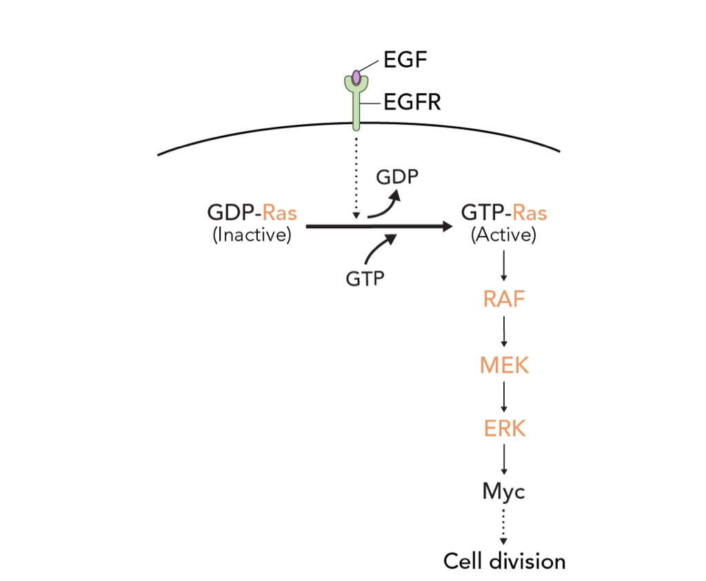 Solved: There Is A Class Of Common Enzymes Called Mitogen