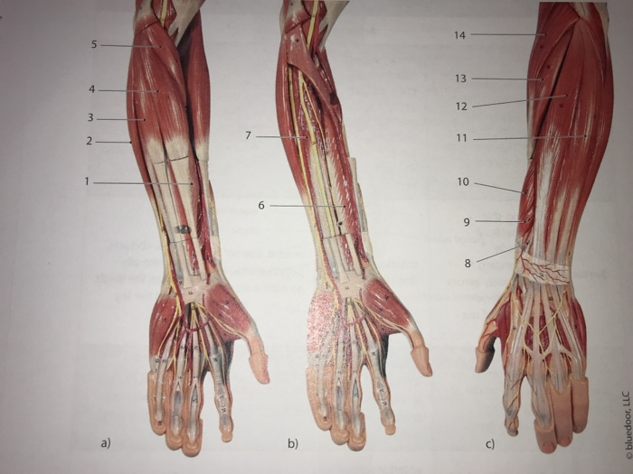Solved Laboratory 14 Skeletal Muscle Gross Anatomy Muscl