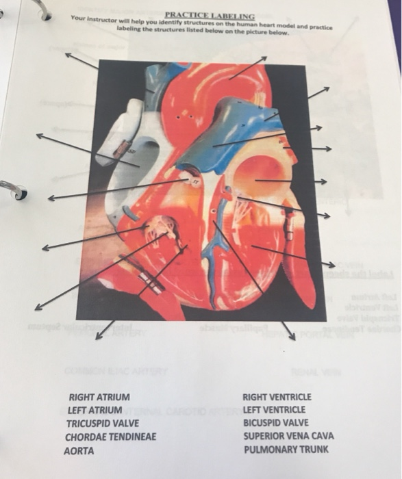 Solved practice labeling your instructor will help you id practice labeling your instructor will help you identify structures on the human heart model and practice ccuart Gallery