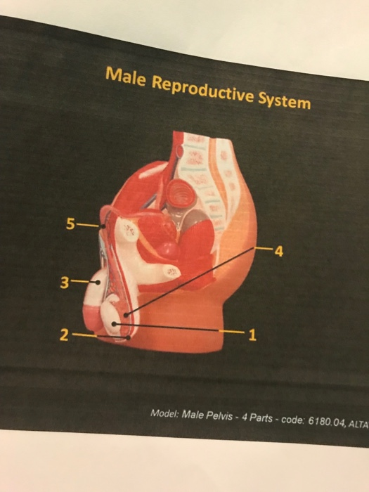 Solved Male Reproductive System 5 4 2 Model Male Pelvis