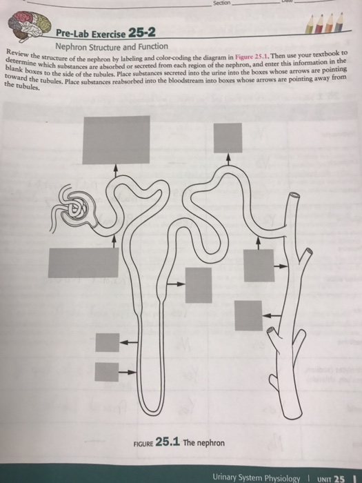 Solved nephron structure and function review the structur question nephron structure and function review the structure of the nephron by labeling and color coding ccuart Images