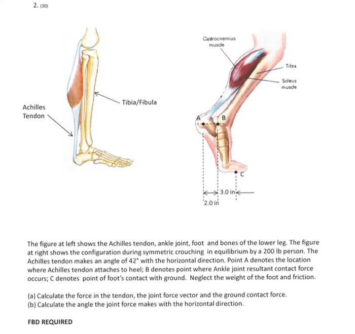 Solved: 2. (30) Catrocnemius Muscle Tibia Soleus Muscle Ti ...