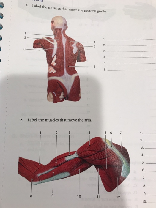 Solved Labeling 1 Label The Muscles That Move The Pector