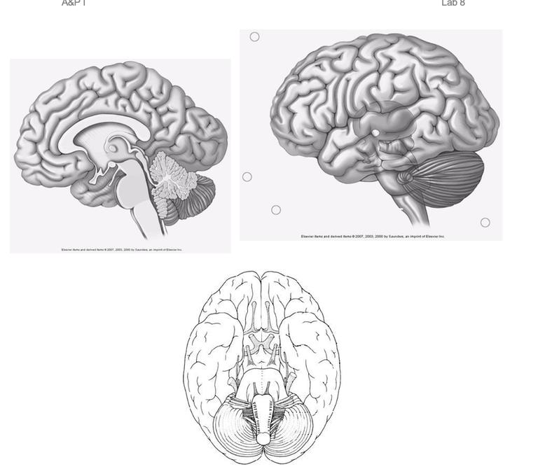 Label The Brain Anatomy Diagram - Atkinsjewelry