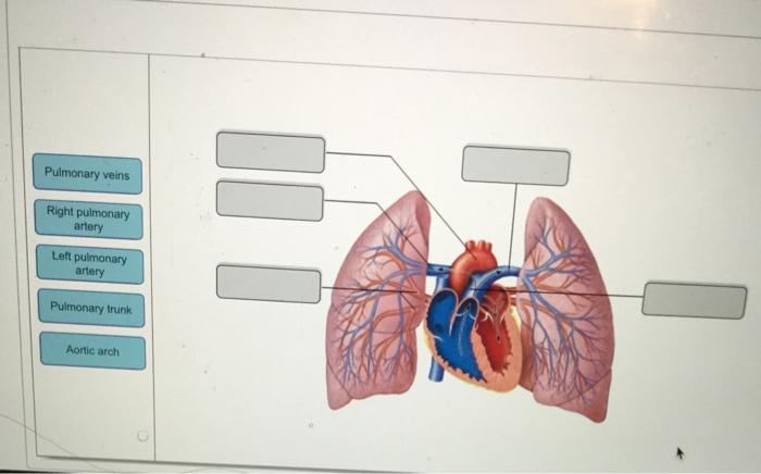 Solved Pulmonary Veins Right Pulmonary Artery Left Artery