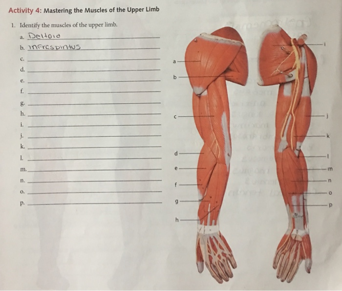 Solved: Activity 4: Mastering The Muscles Of The Upper Lim ...