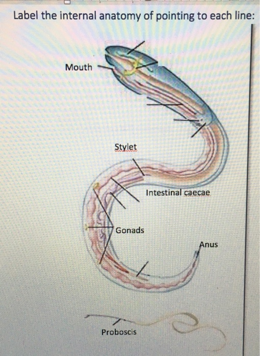 Solved Label The Internal Anatomy Of Pointing To Each Lin