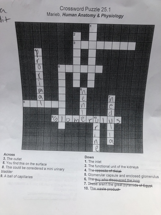 Solved Crossword Puzzle 251 Marieb Human Anatomy Phys