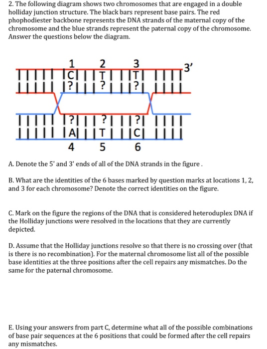 Solved 2 the following diagram shows two chromosomes tha the following diagram shows two chromosomes that are engaged in a double holliday junction ccuart Images