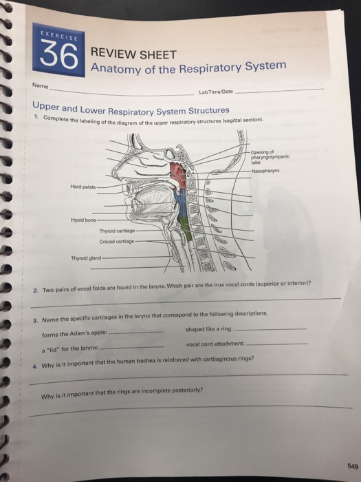 exercise 36 review sheet anatomy of the respiratory system name lab  time/date pper and