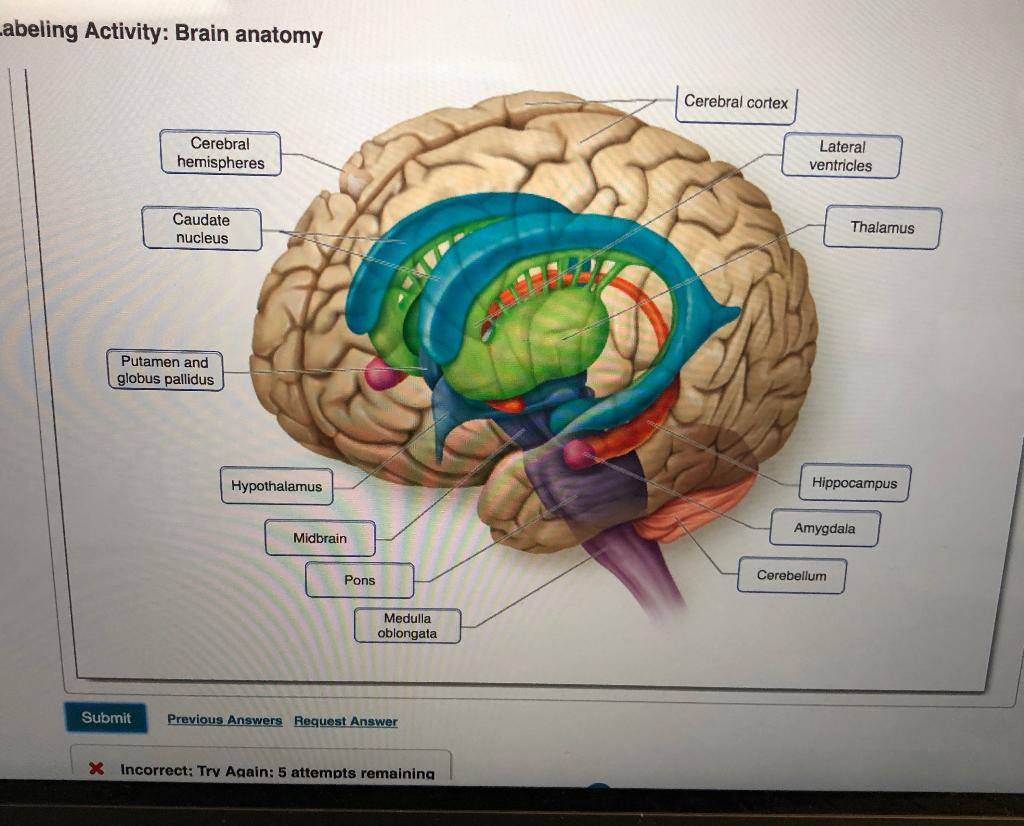 Solved: Abeling Activity: Brain Anatomy Cerebral Cortex Ce ...