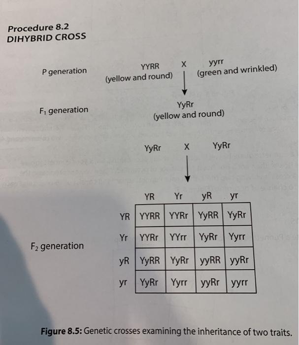 Solved: Procedure 8.2 DIHYBRID CROss P Generation YYRR X Y ...