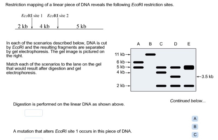 Solved: Restriction Mapping Of A Linear Piece Of DNA Revea