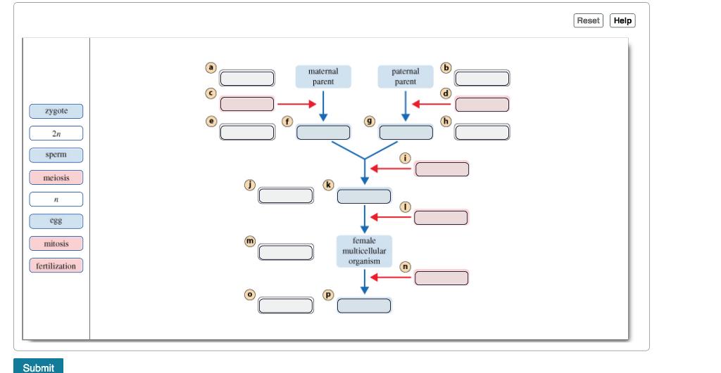 Reset Help maternal parent atenal parent zygote 2n sperim meiosis egg female multicellular organism mitosis fertilization Submit