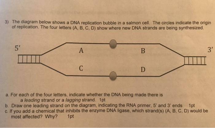 3) the diagram below shows a dna replication bubble in a salmon cell  the