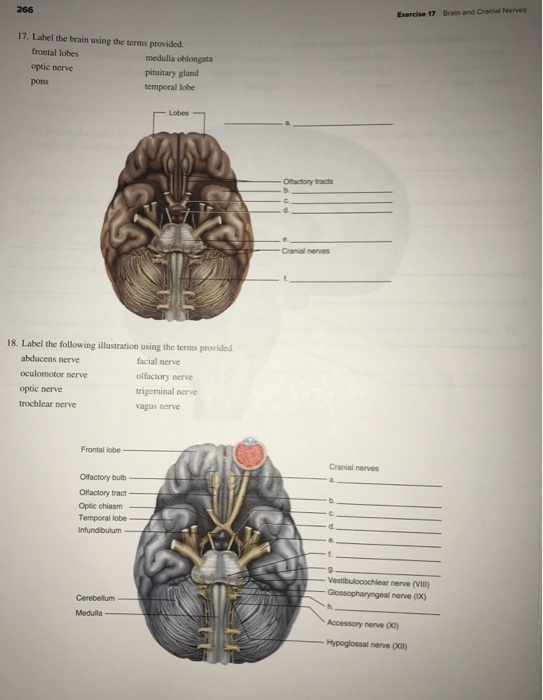 Solved: Exercise 17 Brain And Cranial Nerves 266 17. Label ...