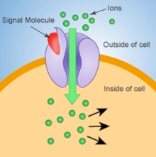 lons Signal Molecule Outside of cell Inside of cell