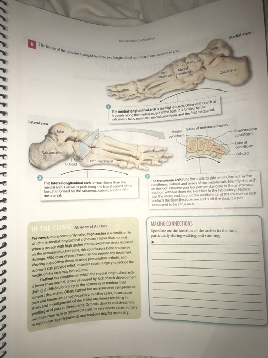 Anatomy and physiology archive february 27 2018 chegg the bones of the foot are medial view aranged to form two loegitudinal arches ana rch fandeluxe Choice Image