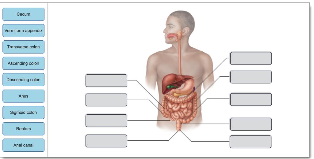 Solved Cecum Vermiform Appendix Transverse Colon Ascendin