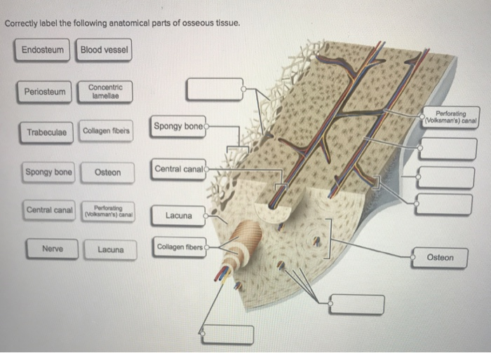 Solved Correctly Label The Following Anatomical Parts Of Chegg Com