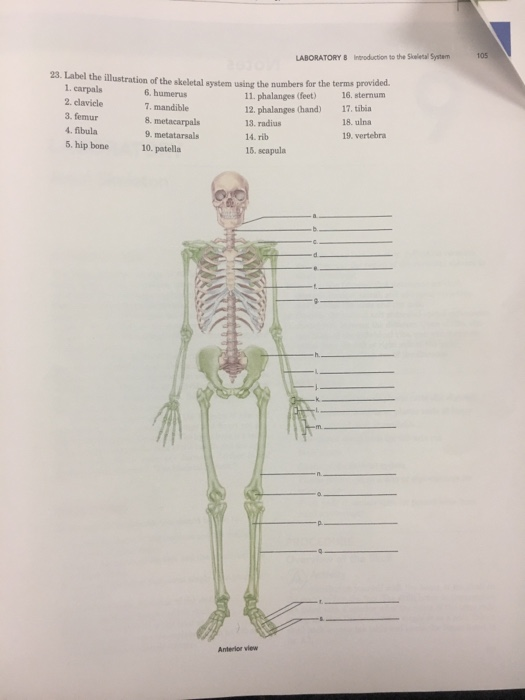 Solved 105 Laboratory 8 Intoduction To The Skeletal Syste