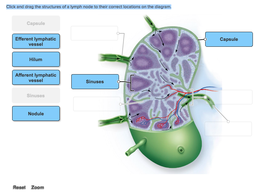 Solved Click And Drag The Structures Of A Lymph Node To T
