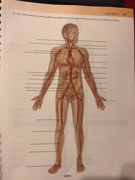Solved Review Sheet 32 481 9 The Human Arterial And Veno