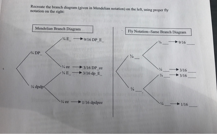 Solved recreate the branch diagram given in mendelian no question recreate the branch diagram given in mendelian notation on the left using proper fly notation ccuart Image collections