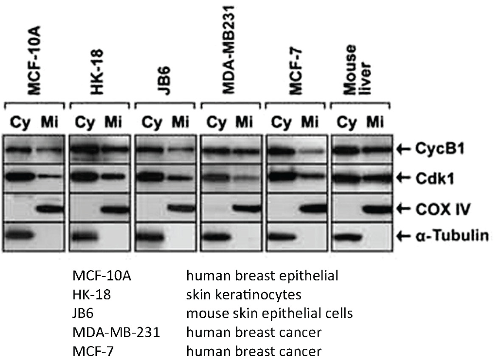 MCF-10A HK-18 JB6 MDA-MB-231 MCF-7 human breast epithelial skin keratinocytes mouse skin epithelial cells human breast cancer human breast cancer