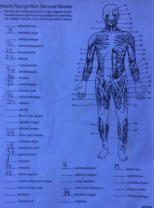 Solved     Muscle    Recognition  General Review Identify The Nu   Chegg