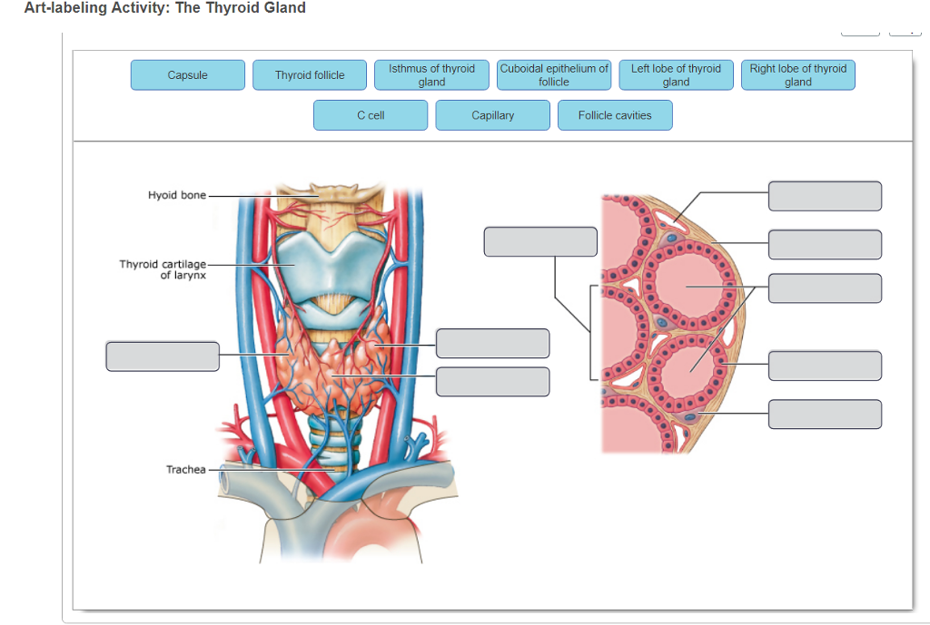Solved Label The Anatomical And Histological Features Of Chegg Com